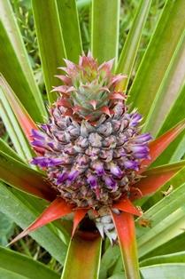 Herbs - pineapple2